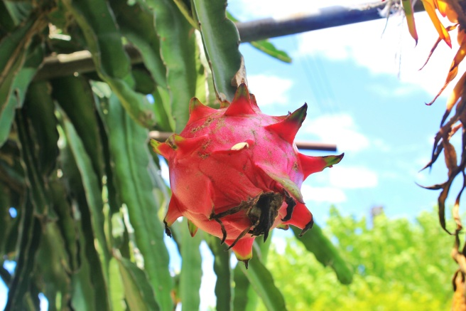 Dragonfruit on the vine.